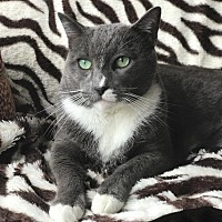 Adopt A Pet :: Vincent - Oxnard, CA