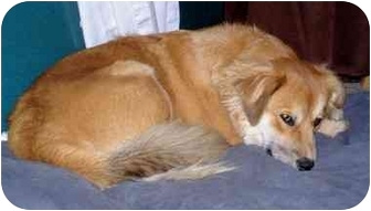 Golden Retriever Mix Dog for adoption in Jacksonville, North Carolina - Ginger