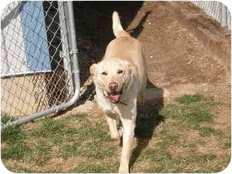 Labrador Retriever Mix Dog for adoption in Meridian, Idaho - Gummi Bear