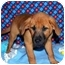 Photo 3 - Shepherd (Unknown Type)/Rhodesian Ridgeback Mix Puppy for adoption in Broomfield, Colorado - Donald Duck