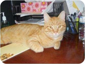 Domestic Shorthair Cat for adoption in Edwardsville, Illinois - Oscar