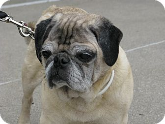Pug Dog for adoption in Indianapolis, Indiana - Mugsy