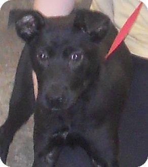 Terrier (Unknown Type, Medium)/Labrador Retriever Mix Puppy for adoption in Belvidere, Illinois - Randa *SPONSORED*