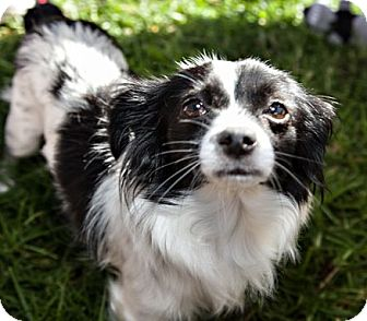 Chihuahua Mix Dog for adoption in San Diego, California - Remy