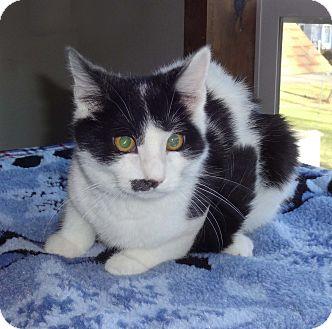 Domestic Shorthair Kitten for adoption in N. Billerica, Massachusetts - Eve