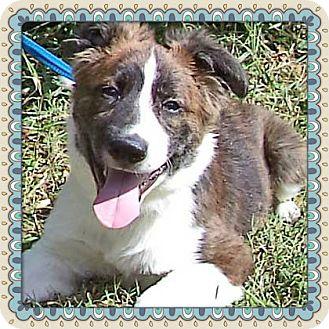 Border Collie Mix Puppy for adoption in Marietta, Georgia - PUFF