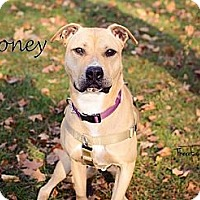 Adopt A Pet :: Honey - Chicago, IL