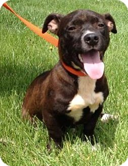 Jack Russell Terrier/Terrier (Unknown Type, Medium) Mix Dog for adoption in Breinigsville, Pennsylvania - Cole