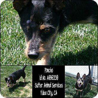 Dachshund Mix Dog for adoption in Yuba City, California - * SPONSORED PUP 05/15 Apollo