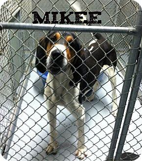 Treeing Walker Coonhound Dog for adoption in MARION, Virginia - Mikee