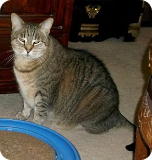 Domestic Shorthair Cat for adoption in Sterling Heights, Michigan - Mama-*COURTESY POST*