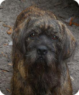 Shih Tzu/Catahoula Leopard Dog Mix Dog for adoption in Old Town, Florida - Teea
