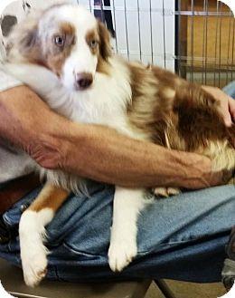 Australian Shepherd Dog for adoption in Overland Park, Kansas - Zenner