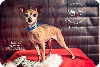 Chihuahua Mix Dog for adoption in Shawnee Mission, Kansas - Hawkeye