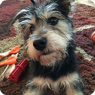 Cairn Terrier/Schnauzer (Miniature) Mix Puppy for adoption in Jersey City, New Jersey - ROSAMUND PIKE