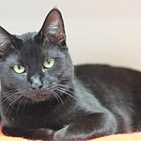Domestic Shorthair Cat for adoption in Atlanta, Georgia - Faddle 14306