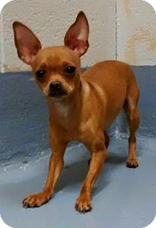 Chihuahua Mix Dog for adoption in Adrian, Michigan - Mugsy