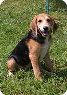 Hound (Unknown Type) Mix Puppy for adoption in Allentown, Pennsylvania - Buster (adoption fee $300)