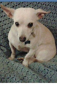 Chihuahua Mix Dog for adoption in Pasadena, California - ROCKY