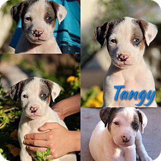 Australian Shepherd/Australian Cattle Dog Mix Puppy for adoption in Phoenix, Arizona - Tangy