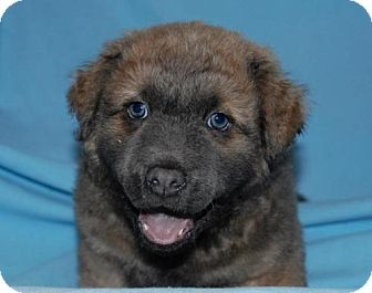 Shar Pei/Golden Retriever Mix Puppy for adoption in House Springs, Missouri - Tyson