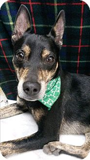 Manchester Terrier/Terrier (Unknown Type, Small) Mix Dog for adoption in Bryson City, North Carolina - Marty