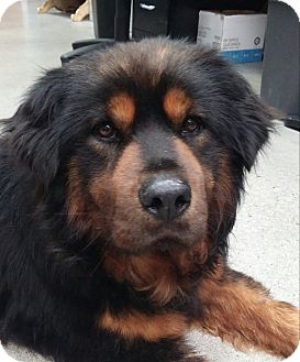 Chow Chow/Rottweiler Mix Dog for adoption in North Bend, Washington - Bear