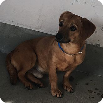 Dachshund Mix Dog for adoption in Visalia, California - Adrian