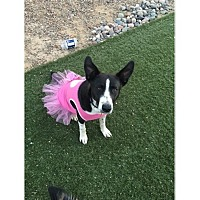 Adopt A Pet :: Dakota - Tempe, AZ