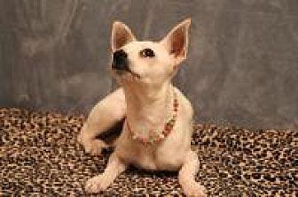 Chihuahua Dog for adoption in Yukon, Oklahoma - Solita