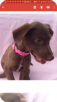 Labrador Retriever Mix Puppy for adoption in Mesa, Arizona - LANA