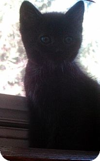 Domestic Mediumhair Kitten for adoption in Des Moines, Iowa - PHANTOM