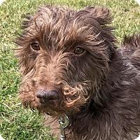 Adopt A Pet :: Bretta - Westfield, NY