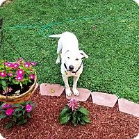 Adopt A Pet :: Sully (Sponsored) - Springfield, MO