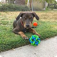 Adopt A Pet :: Cisco - Los Angeles, CA