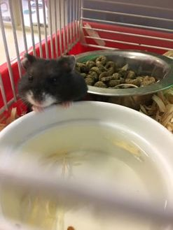 Hamster/Hamster Mix for adoption in Whitby, Ontario - Hamalamadingdong