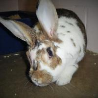 Adopt A Pet :: Patches - Moncton, NB