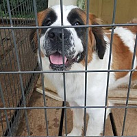 Adopt A Pet :: Shirley - Lewistown, PA
