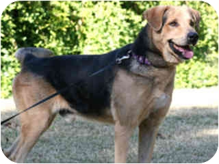 German Shepherd Dog/Golden Retriever Mix Dog for adoption in Scottsdale, Arizona - Jesse- courtesy post