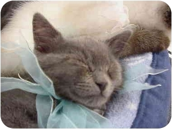 Domestic Shorthair Kitten for adoption in The Colony, Texas - Delaney