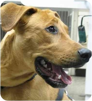 Labrador Retriever Mix Puppy for adoption in Chicago, Illinois - Newt