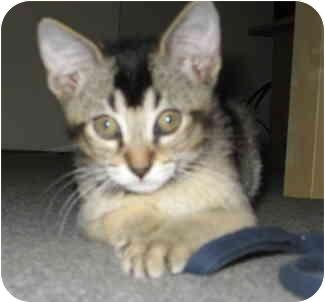 Abyssinian Kitten for adoption in Davis, California - Chip