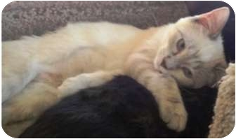 Domestic Shorthair Kitten for adoption in Las Vegas, Nevada - Hally