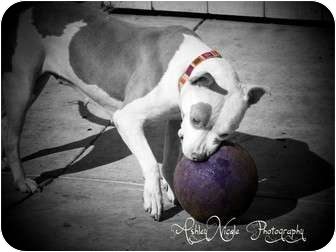 American Pit Bull Terrier Dog for adoption in San Diego, California - Diane