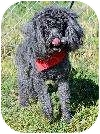 Poodle (Miniature) Mix Dog for adoption in Corona, California - RJ, Special Needs (Dry Eye)