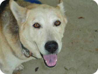 German Shepherd Dog/Husky Mix Dog for adoption in Pointblank, Texas - Silky
