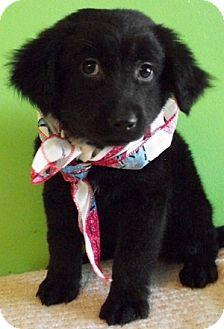 Cocker Spaniel/Border Collie Mix Puppy for adoption in Struthers, Ohio - Cheerios