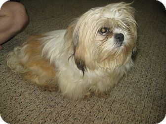 Shih Tzu Dog for adoption in Prole, Iowa - oz
