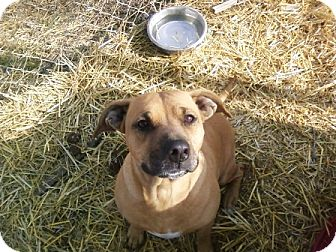 Pit Bull Terrier/Boxer Mix Dog for adoption in Florence, Indiana - Nevi