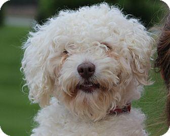 Bichon Frise/Poodle (Miniature) Mix Dog for adoption in Mt Gretna, Pennsylvania - Scrappy